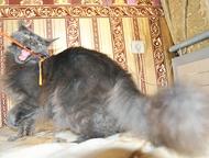 Кошечка мейн-кун - пушистая рысь для дома Продается голубая кошечка мейн-кун, умненькая девочка, в меру игривая, по характеру контактная. Кошечка мор, Ачинск - Продажа кошек и котят