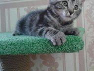 продам котят курильского бобтейла В питомнике , Taezhnyi roman от пары курильских бобтейлов Харизмы Мурчалки KBL ns23 и Никана Мурчалки n09 родилось, Ангарск - Продажа кошек и котят