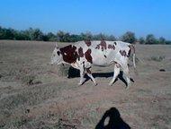 Астрахань: Продается племенной бык Продается племенной бык, возраст- три года, высота в холке- 145 см