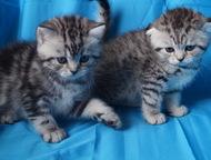 британские котята в Балаково родам британских котят (возраст 1 месяц возможен резерв)    мальчики и девочки,     золотистые и серебристые окрасы .    , Балаково - Продажа кошек и котят