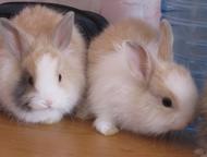 Челябинск: Продаю декоратиных кроликов породы ангора Продаю декоративных кроликов породы ангора, возраст 2 месяца, (1 девочка и 3 мальчика), очень ласковые, игри