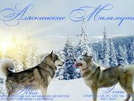 Челябинск: Щенки Аляскинского маламута от родителей-чемпионов! Продаются только в самые любящие и заботливые ручки!   Щенки Аляскинского маламута: 3 девочки и 2