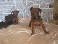Гатчина: щенки цвергпинчера предлагаются к продаже щенки цвергпинчера с документами прививки по возрасту окрас рыжий и черноподпалый суки и кобели цены разные