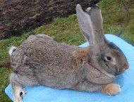 Чистокровные кролики Продаю кроликов.   Серые великаны от 3 месяцев-700 рублей   Ризен, фландр от 3 месяцев - 1300  Калифорнийцы 3 месяца - 600 рублей, Гатчина - Грызуны
