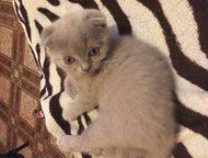 Шотландские котята Продам 2х шотландских мальчиков (с документами) лиловый - фолд, голубой - страйт.   Возраст - 2 месяца. Едят самостоятельно, к лотк, Хабаровск - Продажа кошек и котят