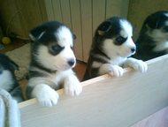 продам щенков сибирской хаски продам щенков сибирской хаски 4 девочки с голубыми глазами. писать ватсап, Хабаровск - Продажа собак,  щенков