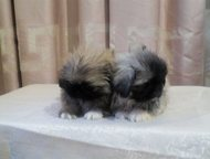 Продаются щенки пекинеса Продаются щенки пекинеса., Хабаровск - Продажа собак,  щенков