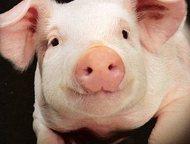 Поросята оптом от 1 месяца Порода: крупные белые, беконки 3-ех породки, ландрас, дюрок. свинокомплекс реализует свиней и поросят оптом, от одного меся, Казань - Другие животные