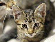 Отдам гладкошерстного котенка Отдам котенка-девочку заботливым и ответственным людям.   Игривый, забавный, самостоятельный котенок.   Окрас табби (кор, Кемерово - Продажа кошек и котят