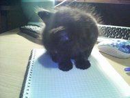 Отдам котенка в хорошие руки Отдам в добрые руки котенка. Папка - вислоухий шотландец. Умная и сообразительная девочка, к лотку приучена, кушает сама,, Кемерово - Продажа кошек и котят