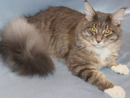 Кемерово: Котенок породы Мейн-кун Продам замечательного котенка породы мейн-кун (мальчик), родители чемпионы, чистокровный (внешний вид соответствует породе), п