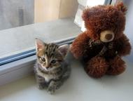 Малышка Курильский бобтеил,девочка Продам котенка, курильского бобтейла! Осталась девочка родилась 11 марта , мальчишек разобрали как горячие пирожки), Красноярск - Продажа кошек и котят