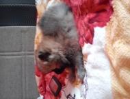 Красноярск: Продам шпица Продам шпица. Тип мишка, шерстяной толстолапый малыш. Алиментный щенок лучший в помете. Документы РКФ, клеймо на животике. На фото сам ще
