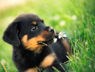 Дрессировка собак в г, Елабуга Я дрессировщик ! Кинолог с двадцатилетним опытом, занимаюсь индивидуальным обучением собак и коррекцией их поведения.  , Набережные Челны - Услуги для животных
