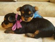 Продаются очень красивые и перспективные щенки Йоркширского терьера Девочка и мальчик от родителей с отличной родословной /питомник/. Дата рождения - , Находка - Продажа собак,  щенков