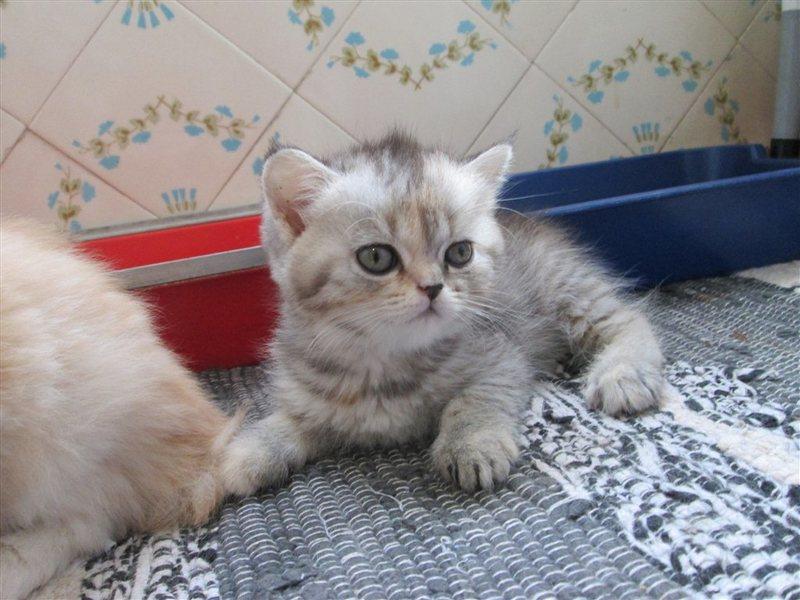 доставка купить или даром персидскиого котенка чита горке снег