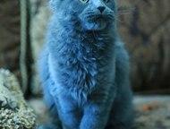 Воронеж: Продажа великолепных котят мейн-кунов Продаются чистокровные котята породы мейн-кун 10. 12. 2015 года рождения, от титулованных родителей. Два котика: