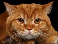 Тобольск: Котик на вязку Молодой красивый кот приглашает на вязку кошек. Чемпион WCF. Развязан, имеет чудесное красивое поколение. Добрый, ласковый, не агрессив