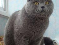Прямоухий британец, очень ждет кошечек на вязку Кот очень дружелюбный , настойчивый , любвеобильный. Крупный, правильных пропорций с классическим голу, Тольятти - Вязка кошек (случка)