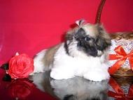 Тула: Девочка ши-тцу Продается яркая бело-рыжая девочка ши-тцу. Д. р. - 04. 02. 2016. Без родословной (родители ши-тцу, можно посмотреть вместе со щенками).