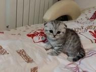 Шотландские котята Продам Шотландских котят, Ульяновск - Продажа кошек и котят
