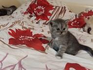 Ульяновск: Шотландские котята Продам Шотландских котят