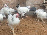 Комбикорм для цыплят яичных пород Пурина Комбикорм используется для кормления молодняка яичной птицы в период жизни 6-19 недель. Содержит оптимальный , Москва - Корм для животных
