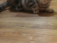 Прямоухая шотландка ищет хозяина Прямоухая шотландка Муся ищет нового хозяина в связи с переездом. Ей 9 месяцев. Кошка приучена к туалету, ест пищу, м, Волгоград - Продажа кошек и котят